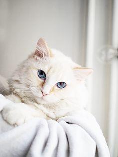 Alfie, my redmitted ragdoll cat.