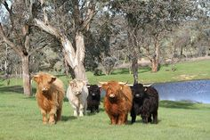 Highland Cattle in NSW Australia at Ennerdale Highlands