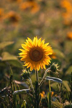 Sunflower Patch, Sunflower Fields, Potomac River, Washington Dc, Dandelion, Flowers, Plants, Photography, Beautiful