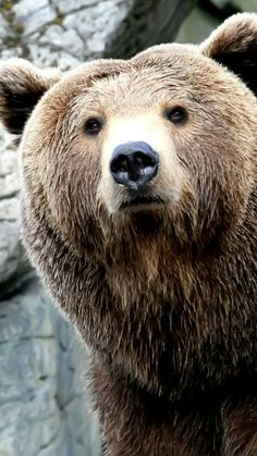 Amazing Close Up Grizzly Bear! Animals Of The World, Animals And Pets, Cute Animals, Wild Animals, Baby Animals, Sloth Bear, We Bear, Samsung Galaxy S4, Sony Xperia