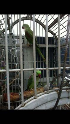 LOST ALEXANDRINE: 12/07/2016 - Jimboomba, Queensland, QLD, Australia. Ref#: L25337 - #ParrotAlert #LostBird #LostParrot #MissingBird #MissingParrot #LostAlexandrine #MissingAlexandrine