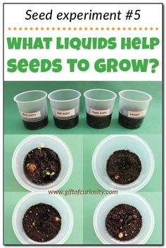 "Teach kids about the needs of seeds with this seed experiment that answers the question: ""What liquids help seeds to grow?"" Part 5 in a series of seed experiments from Gift of Curiosity"