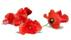 Family Flowers, Flowers Nature, Remembrance Poppy, Armistice Day, Animal Categories, Anzac Day, Plant Images, Flower Images, I Wallpaper