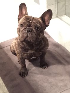 Brindle French Bulldog ❤️