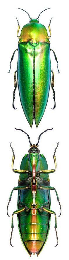 Compsosternus auratus