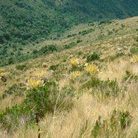 Una de las características de la franja del subpáramo es la abundancia de arbustos, dispersos o en comunidades densas, entremezclados con el pajonal y con las rosetas de frailejón.