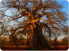 Phalaborwa Wonderful Places, Beautiful Places, South Afrika, Baobab Tree, Lone Tree, Brand Inspiration, My Land, Hotel Spa, Homeland