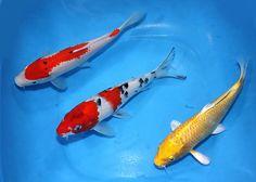 Pond Trio. Koi from Koibay