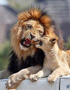 Large Animals, Animals And Pets, Cute Animals, Wild Animal Park, Lion Love, Kinds Of Cats, Lion Cub, Baby Cats, Beautiful Cats