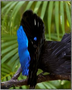 Superb Bird-of-paradise : This small bird from the rainforests of New Guinea has the strangest courtship display.