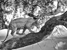 Leopard Picture -- Tanzania Photo -- National Geographic Photo of the Day