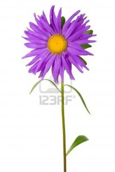 fresh purple aster, isolated on white