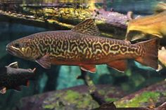 One day I would love to catch a tiger trout like this...