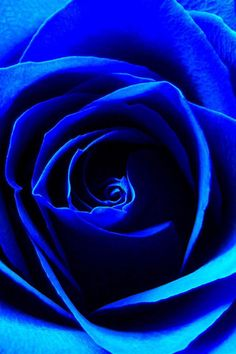 Color Desire | BLUE COBALT | RosamariaGFrangini || Blue rose