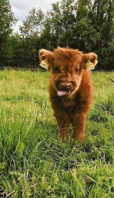 i know this is a cow but i can't not Cute Baby Cow, Baby Cows, Cute Cows, Baby Baby, Baby Farm Animals, Baby Hippo, Baby Sloth, Baby Ducks, Animals Dog