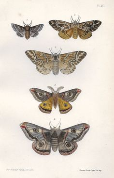 """FINE HAND-COLORED WOODBLOCK PRINT A Natural History of British Moths This Hand-Colored Lithograph print is from """"A Natural History of British Moths"""", by Rev. F.O. Morris,published by Bell & Daldy, Lon"""
