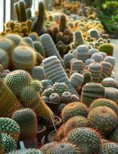 Botanical Cactus Garden - Huntington Library Museum and Botanical Gardens, Southern California.