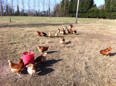 Today is National Poultry Day - a day especially for our girls!   Here's a photo of them celebrating and enjoying the March sunshine
