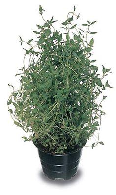 Timjami  kylvö ja kasvatus Herbalism, Herbs, Gardening, Lifestyle, Flowers, Plants, Botany, Herbal Medicine, Lawn And Garden
