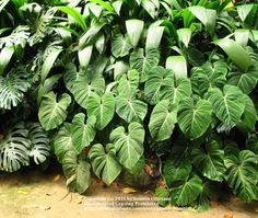 philodendron | Philodendron Plant