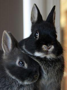 My favorite- Netherland dwarf bunny Cute Baby Bunnies, Funny Bunnies, Cute Baby Animals, Animals And Pets, Funny Animals, Dwarf Bunnies, Bunny Rabbits, Bunny Bunny, Dwarf Rabbit