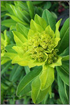 Irish Wildflowers - Irish Spurge