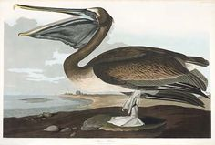 John James Audubon (1785 – 1851) was a French-American ornithologist, naturalist, and painter. He was notable for his expansive studies to document all types of American birds and for his detailed illustrations that depicted the birds in their natural habitats. His major work, a color-plate book entitled The Birds of North America (1827–1839), is considered one of the finest ornithological works ever completed.
