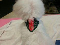 Christmas collar On a Maltese
