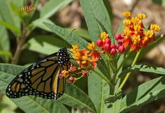 Start tropical milkweed seeds in January/February and have beautiful blooms the entire garden season for both you and the monarch butterflies