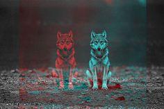 Red wolf, blue wolf
