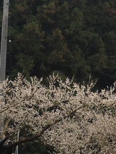 七折の梅畑