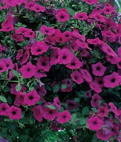 Purple Wave™ Hybrid Petunia Seeds and Plants, Annual Flower Garden at Burpee.com