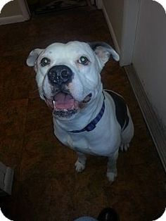 Pls adopt me! I need your love and a forever home. New York, NY - Pit Bull Terrier Mix. Meet Nico a Dog for Adoption. http://www.adoptapet.com/pet/10693187-new-york-new-york-pit-bull-terrier-mix