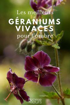 Les meilleurs géraniums vivaces pour l'ombre : nos variétés préférées ! #jardin #ombre #vivace