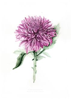 Watercolour illustrations of chrysanthemum flower by Elena Limkina - My site Aster Flower Tattoos, Birth Flower Tattoos, Flower Tattoo Designs, Tattoo Flowers, Chrysanthemum Drawing, Chrysanthemum Flower, Acrylic Painting Flowers, Watercolor Flowers, Tattoo Watercolor