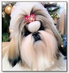 Shih Tzu~CH Mr Foo's 2 Hot 2 Handle.... HANNAH