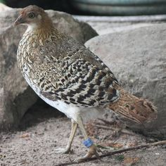 Ceylon Junglefowl (Gallus lafayetii)