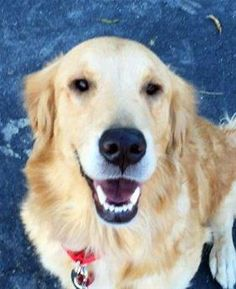 This is Chrissy - 2 yrs. She is spayed, current on vaccinations, potty trained, rides well in a car, walks well on leash, good with dogs. Not cat/kid tested. She came to rescue underweight and had recently had puppies. Retriever Club of Greater Los Angeles Rescue, CA. - http://www.grcglarescue.org/RP_AdoptMe.asp?aid=2139