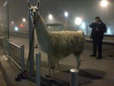 A group of five French teenagers have been arrested after drunkenly stealing a circus llama named Serge and taking on him on a tour of Bordeaux via the city's tram system.