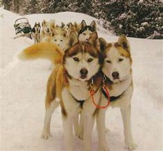#SiberianHuskies! Taking a break to pose for a picture :)