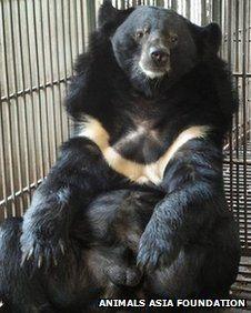 Moon bear in Vietnamese bear farm