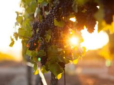 The History Of Pinot Noir: http://www.sonomacounty.com/articles/history-pinot-noir