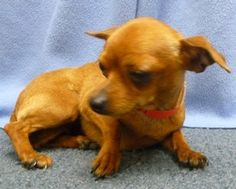 Cinnamon is a very sweet little Chihuahua mix 8 month old puppy. She is very tiny weighing about 5 lbs. She's a bit shy but loves to cuddle and is the perfect lap dog. Visit her at the Oregon Humane Society!