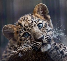 from tiger cub to siamese cat Cute siamese cat - gg70544031 gograph stock photography, illustrations, and clip art allows you to quickly find the right graphic featuring over 38,000,000 stock.