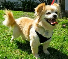 ABOUT GIZMO Gizmo! This 3 year old Pomeranian mix is such a delight. Good on a leash and really a nice dog. He'd be a great addition to any ...