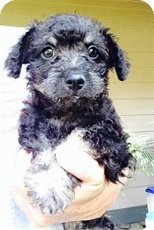 Temecula, CA - Poodle (Toy or Tea Cup)/Cockapoo Mix. Meet Bruce, a puppy for adoption. http://www.adoptapet.com/pet/11458115-temecula-california-poodle-toy-or-tea-cup-mix