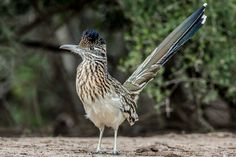 How fast do roadrunners run? What do they eat? How long do they live? Learn all this and more with these roadrunner bird facts!
