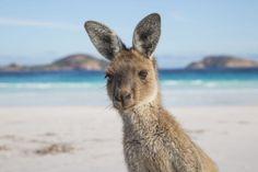 Kangaroo On The Beach At Lucky Bay. WA