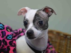 Manhattan Center SCARLETT - A1030884 FEMALE, WHITE / BR BRINDLE, CHIHUAHUA SH MIX, 6 yrs old. For more information on adopting from the NYC AC&C, or to find a rescue to assist, please read the following: http://urgentpetsondeathrow.org/must-read/