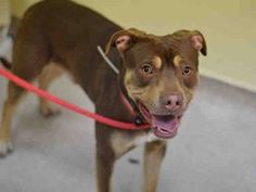 Manhattan Center GOLIATH - A1028108 MALE, BROWN / TAN, AM PIT BULL TER / LABRADOR RETR, 1 yr, 6 mos STRAY - STRAY WAIT, NO HOLD Reason STRAY Intake condition EXAM REQ Intake Date 02/16/2015, From NY 11208, DueOut Date02/19/2015, https://www.facebook.com/Urgentdeathrowdogs/photos/a.617938651552351.1073741868.152876678058553/963551950324351/?type=3&theater